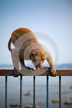 Indian Monkey In Attacking Position Royalty Free Stock Image - Image: 25605796