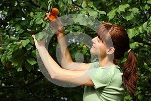 Woman Picking Apricots Stock Photo - Image: 25609870