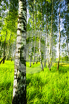 Forest Birch Royalty Free Stock Image - Image: 25614526