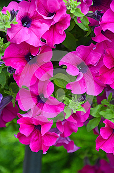 Beautiful Pink Petunias Royalty Free Stock Photo - Image: 25620915