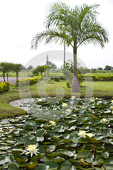 Yellow Water Lily Pond With Palm Trees. Stock Photography - Image: 25638652