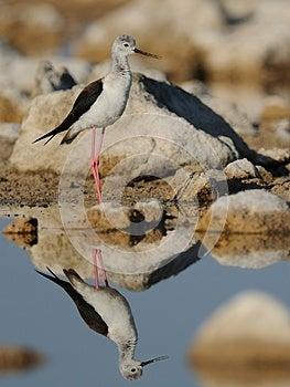 Black-Winged Stilt (Himantopus Himantopus) Stock Photos - Image: 25647293