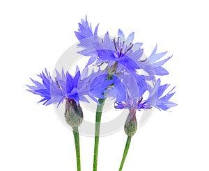 Three Beautiful Blue Cornflowers Stock Image - Image: 25652181