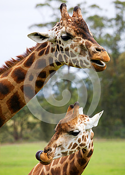 Two Giraffes Stock Images - Image: 25660294