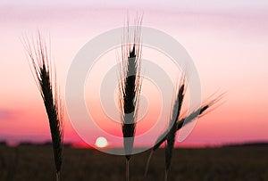 Rye Ears At Sunset Stock Image - Image: 25664781