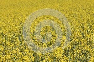Swedish Turnip Royalty Free Stock Photo - Image: 25675415