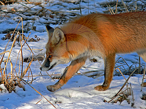 Red Fox 23 Free Stock Image