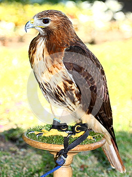 Red-tailed Hawk (Buteo Jamaicensis) Royalty Free Stock Images - Image: 25700989
