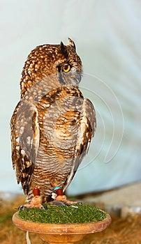 Great Horned Owl (Bubo Virginianus) Stock Image - Image: 25701011