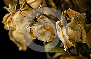 Dry Rose Stock Images - Image: 25705074