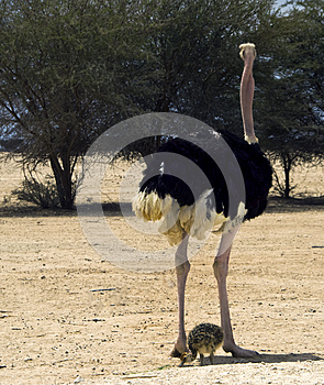 African Ostrich (Struthio Camelus) With Chick Royalty Free Stock Photos - Image: 25721818