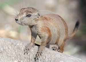 Meerkat Stock Image - Image: 25723291