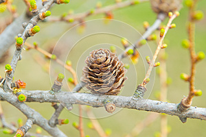 Spring Time In Larch Forest Stock Photography - Image: 25733632