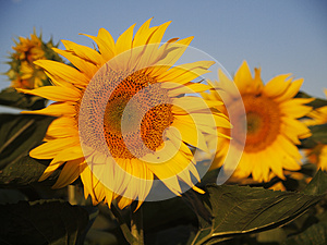 Sunflower Royalty Free Stock Image - Image: 25734176