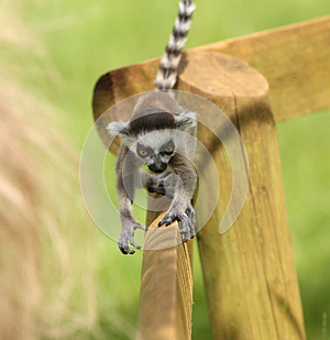 Baby Ring-Tailed Lemur Stock Photography - Image: 25734692