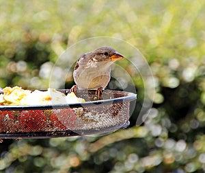Common British Sparrow Stock Photo - Image: 25756890
