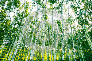 Forest Birch Royalty Free Stock Photos - Image: 25759118