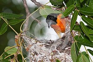 Baltimore Oriole Image libre de droits - Image: 25759156