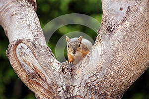 Gray Squirrel Tree Staring Royalty Free Stock Photos - Image: 25767638