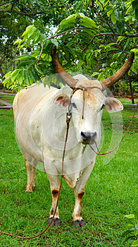 The Bull At The Tree Royalty Free Stock Photography - Image: 25767727