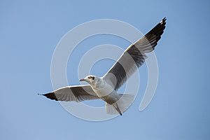 A Seagull, Soaring In The Sky Royalty Free Stock Photo - Image: 25769765