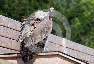 Vulture Royalty Free Stock Photography - Image: 25775557