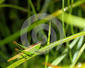 Grasshopper On Wet Grass Stock Photos - Image: 25777153