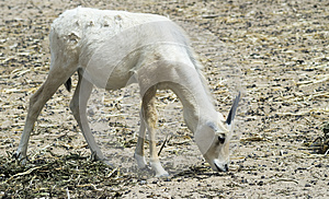 Baby Of Arabian Oryx Antelope Stock Photo - Image: 25780210