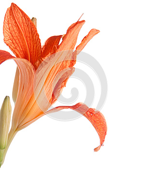 Flower Of Lily With Drops Of Water On A Petal Stock Image - Image: 25782041