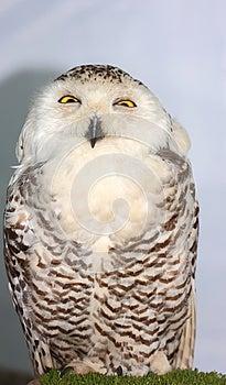 Snowy Owl (Bubo Scandiacus) Royalty Free Stock Photos - Image: 25784388
