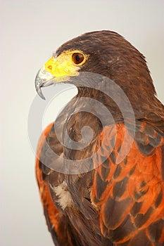 Harris' Hawk (Parabuteo Unicinctus) Stock Photos - Image: 25784393
