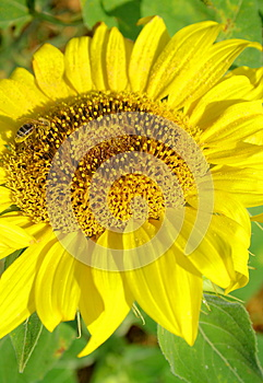 Tournesol Avec L'abeille Photo stock - Image: 25790240