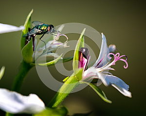 House Fly On Flower Macro Stock Photography - Image: 25791302