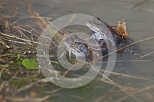Frogs Royalty Free Stock Photography - Image: 25799137