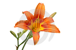 Lily In Orange Tones Royalty Free Stock Photo - Image: 2581275