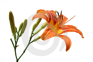 Lily In Orange Tones Stock Image - Image: 2581291