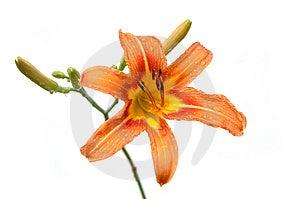 Lily In Orange Tones Stock Photography - Image: 2581292