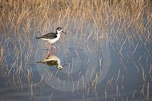 Bird Walking In Water Stock Photos - Image: 2588143