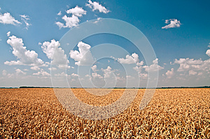 Golden Wheat Against Blue Sky And White Clouds Stock Image - Image: 25801781