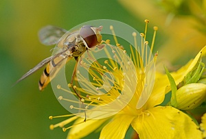 Hover Fly Macro Stock Image - Image: 25806561