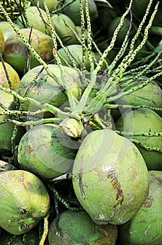 Coconut's Stalk Above Cluster Of Coconuts Stock Photography - Image: 25808022