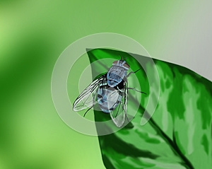 Blue Fly On A Leaf - Hand Drawn Stock Photography - Image: 25808972