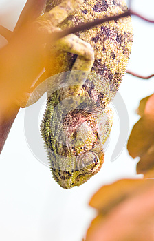 Chameleon Hanging Upside Down (focus On The Eye) Royalty Free Stock Photos - Image: 25818678