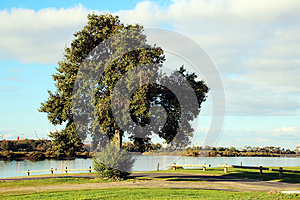Large Evergreen Tree By The Estuary Stock Photos - Image: 25823863