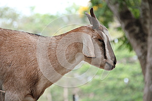 Domestic Goat Royalty Free Stock Photos - Image: 25838118