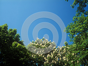 Chestnut Blossoms. Royalty Free Stock Image - Image: 25845536