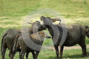 Buffalo Royalty Free Stock Photography - Image: 25851347