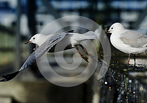 Seagull Taking Off Royalty Free Stock Photography - Image: 25856577