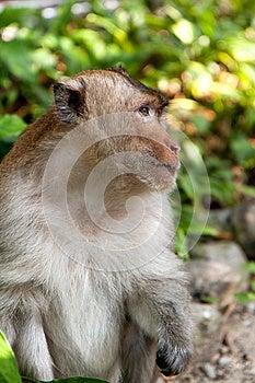 Hairy Monkey Royalty Free Stock Photos - Image: 25866398