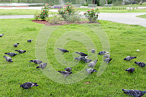 Flock Of Pigeons Royalty Free Stock Images - Image: 25867919